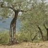 Olive Trees 7