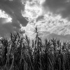 Umbria Corn Fields