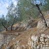 Campello Alto Olive Groves