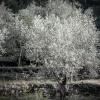 Olive Trees 5