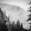 Fog Engulfing Trees