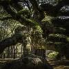 Angle Oak 15
