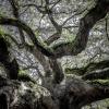 Angle Oak 1